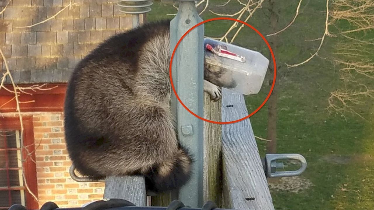 Utility Company Rescues Raccoon With Head Stuck In A Jar