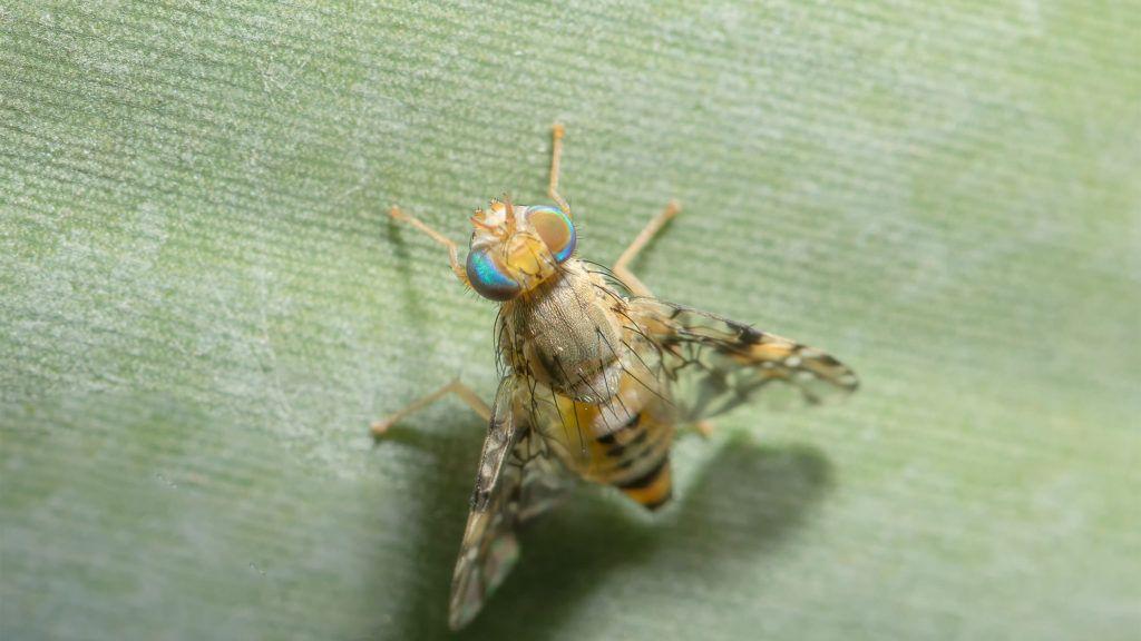 How To Get Rid Of Fruit Flies In 4 Simple Steps Fruit Flies