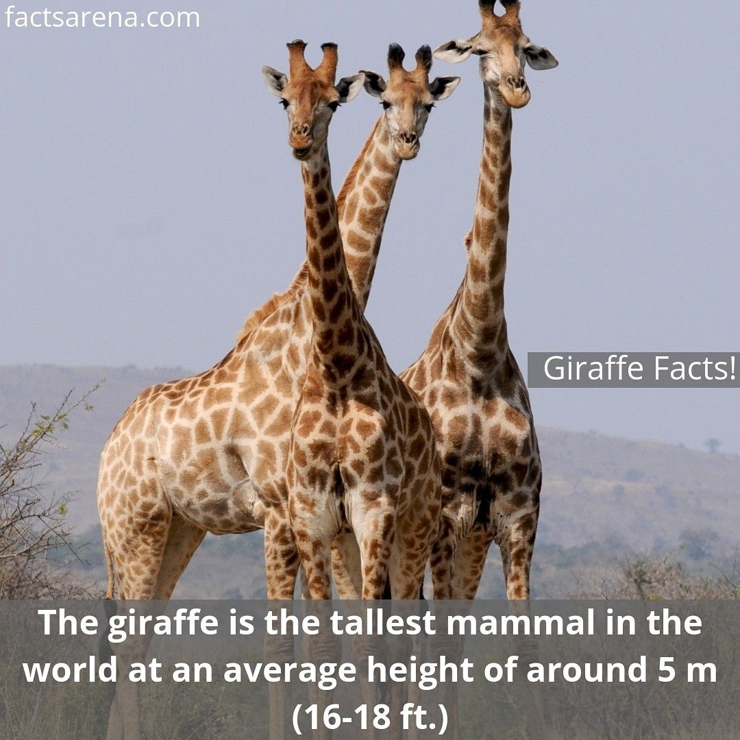 15 Fun Facts About Giraffes That Will Leave You Amazed