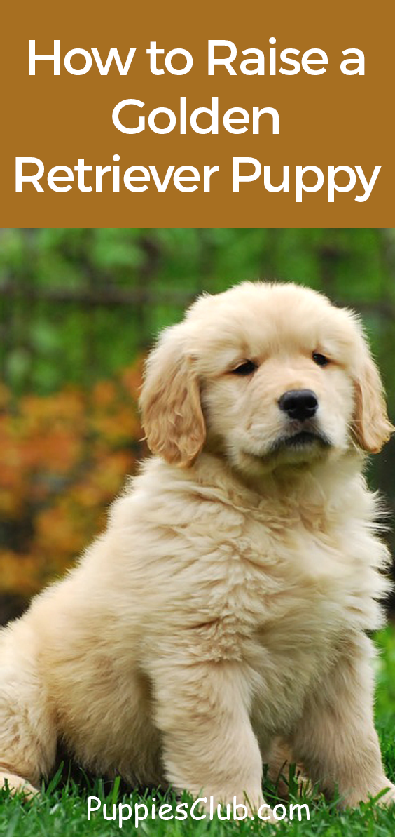 How To Raise A Golden Retriever Puppy Puppies Club Golden Retriever Golden Retriever Puppy Training Golden Retriever Puppy