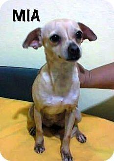Calgary Edmonton Ab Chihuahua Mix Meet Mia A Dog For Adoption Chihuahua Chihuahua Mix Adoption