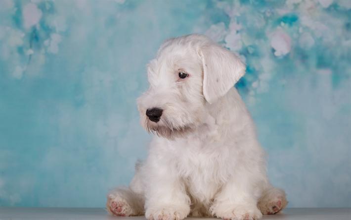 Download Wallpapers Airedale Terrier Puppy Little White Dog Curly White Puppy Cute Animals Dog Breeds Bingley Terrier Waterside Terrier Besthqwallpapers Hunde Fotos Hunderassen Manner Und Hunde