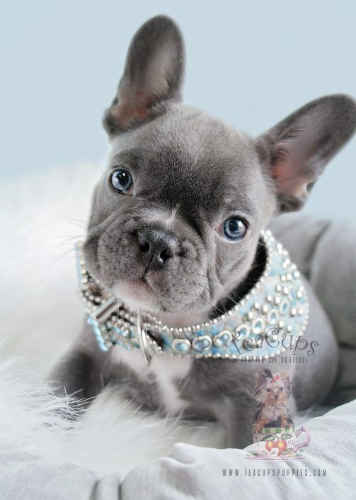 Blue Frenchie Puppy 181 For Sale Teacup Puppies Puppies