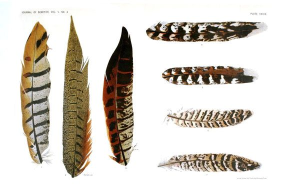 Curiousprints 11x17 Vintage Science Poster Bird Feather Diagram