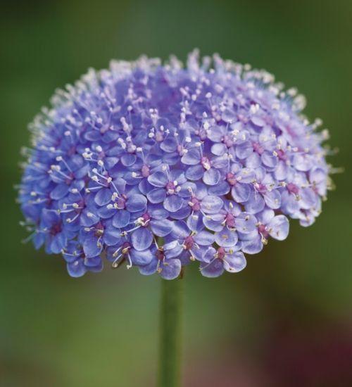 Blue Lace Flower Seeds Didiscus Caeruleus Annual 50 Etsy In 2020 Unusual Flowers Flower Seeds Flowers