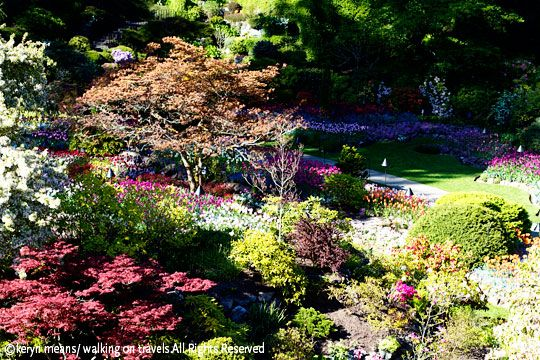 Tulips Explode at Butchart Gardens #butchartgardens