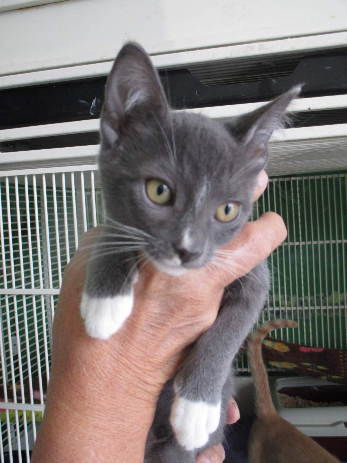 Gray And White Kittens For Adoption You Can Get More Details By Clicking On The Image Cattricks Kitten Adoption Grey Kitten Grey And White Cat