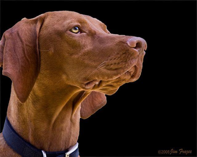 Perfection Yes In A Dog Vizsla Hunde Jagd