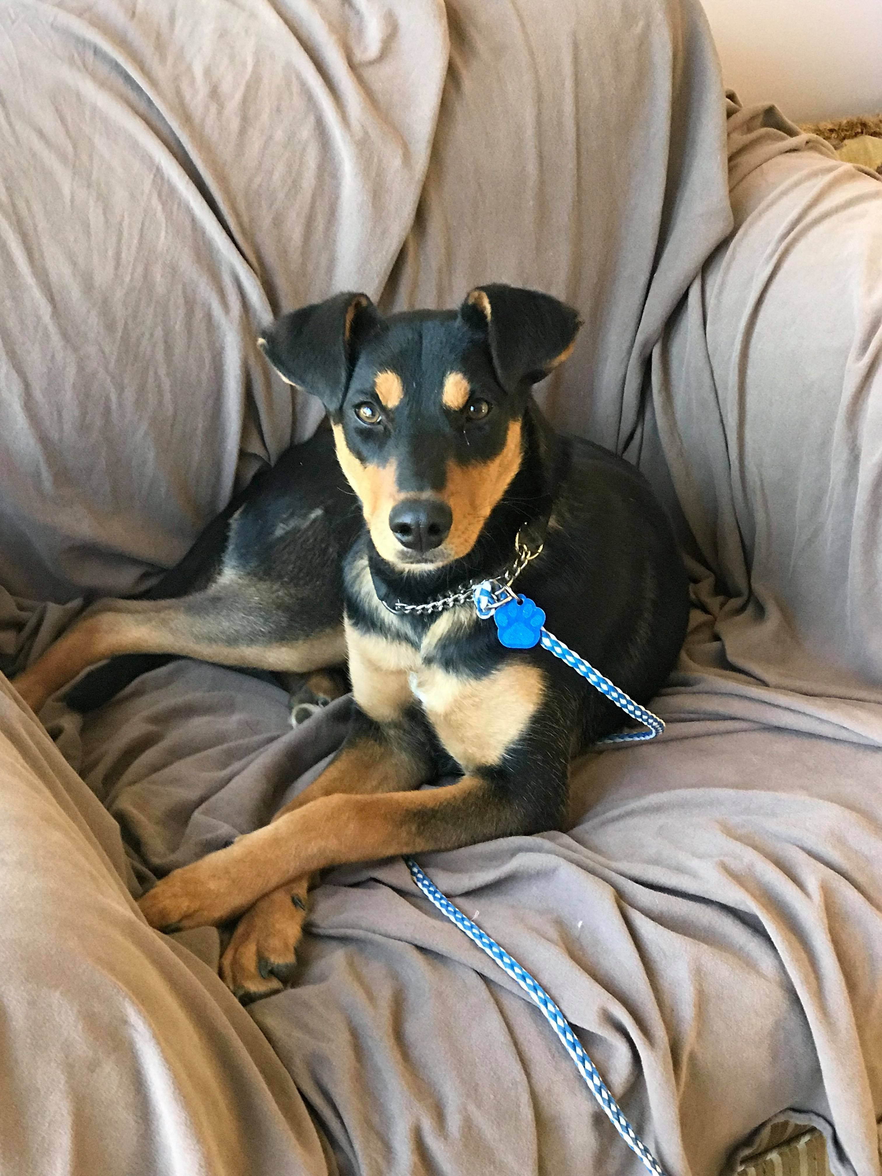 Libby Is An Adoptable Doberman Pinscher Searching For A Forever