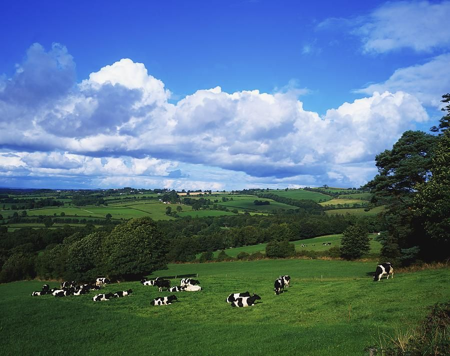 County Tipperary Ireland Dairy Cattle By The Irish Image Collection Farm Mural Irish Images Farm Scene