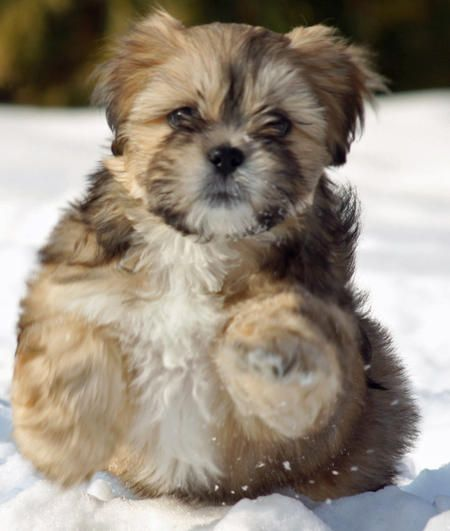 Dog Breed That Looks Like A Rug: Pin By Sarah Juárez On Lhasa Apso - Shih Tzu
