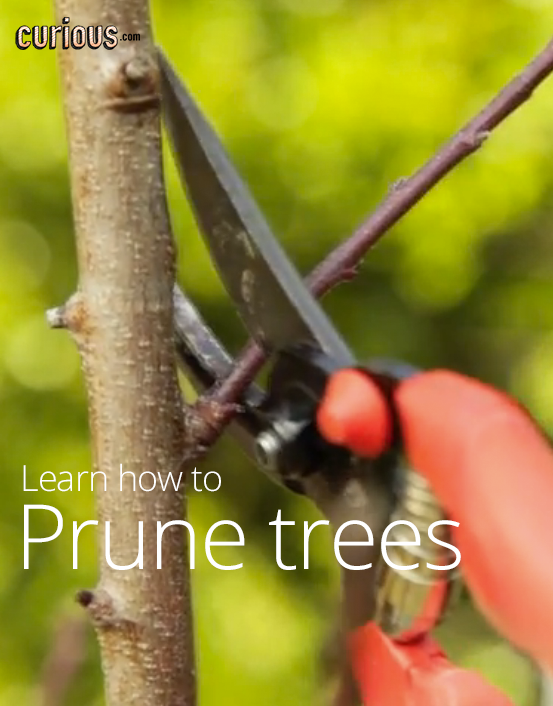 How To Prune Trees And Plants Fruit Trees Grafting Fruit Trees Pruning Fruit Trees