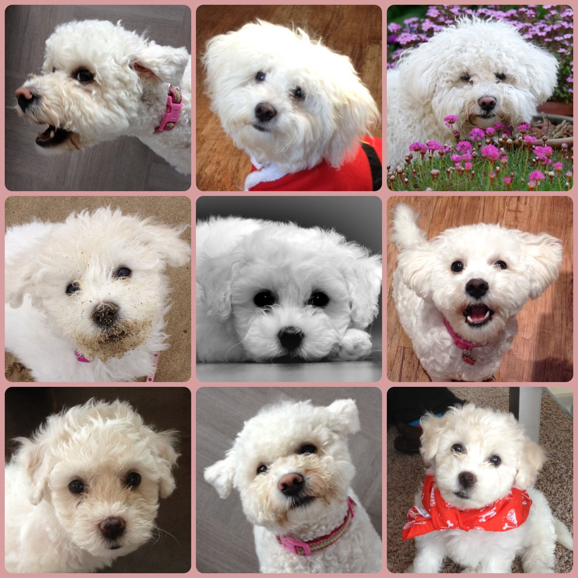 The many faces of Milly the Bichon