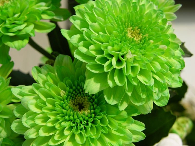 The Meaning And Top 19 Beautiful Green Roses