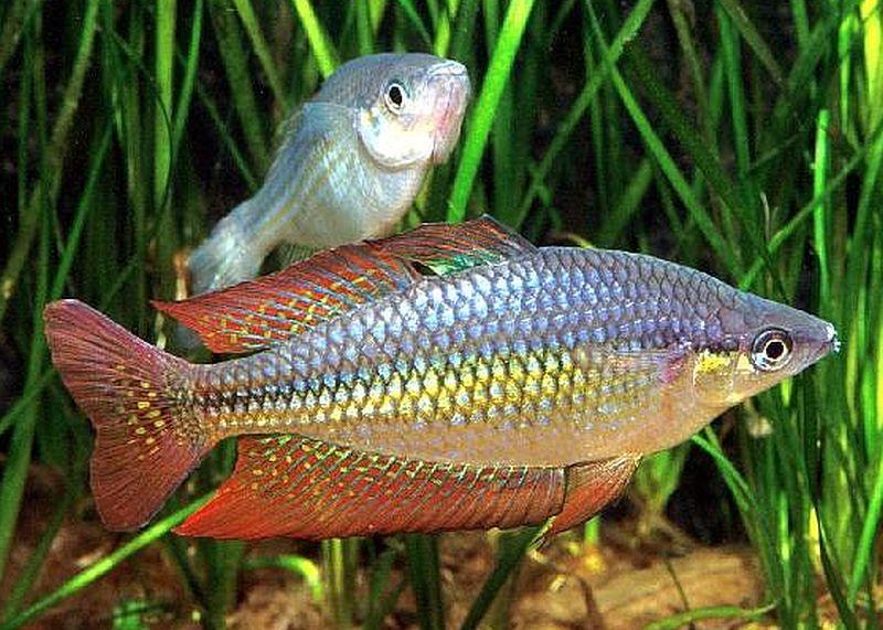 Eastern Rainbowfish Melanotaenia Splendida Splendida Fish Aquarium Fish Rainbow Fish