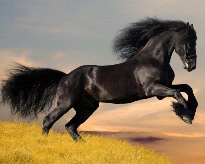 Black Arabian Horse Running