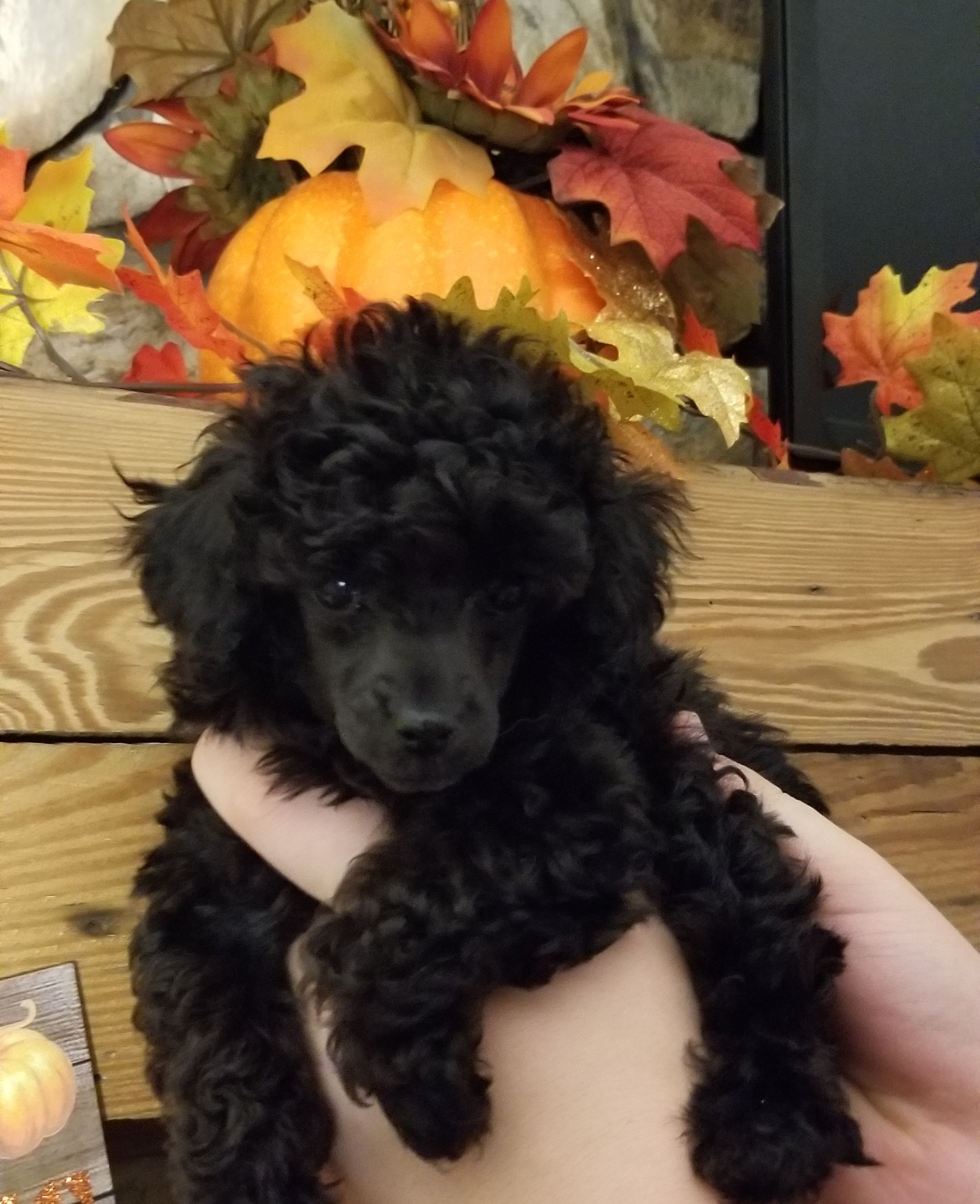 Black Female Toy Poodle Puppies For Sale Carolina Mountain Toy