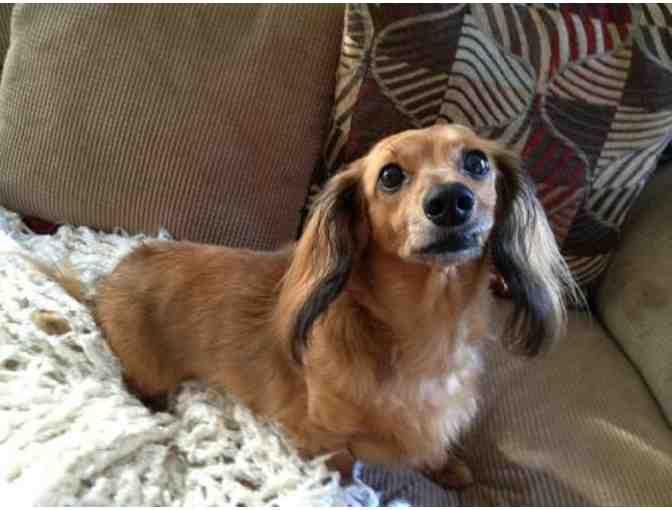 Buy Now Antibiotics For One Foster Dog Online Fundraising Auction Biddingforgood Foster Dog Dogs Weiner Dog