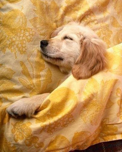 Domingo E O Dia Oficial Da Preguica Sleeping Dogs Puppies