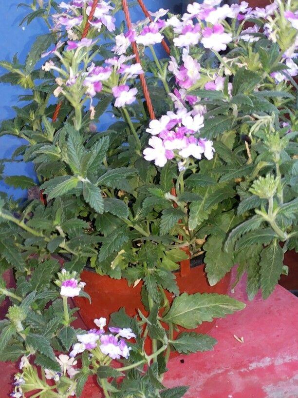 Verbena Rastrera •Nombre de la Planta: Verbena Rastrear •Nombres ...