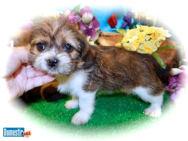Chicago Beazu Puppy Fluffy Beagle Great For Kids Vet Fluffy