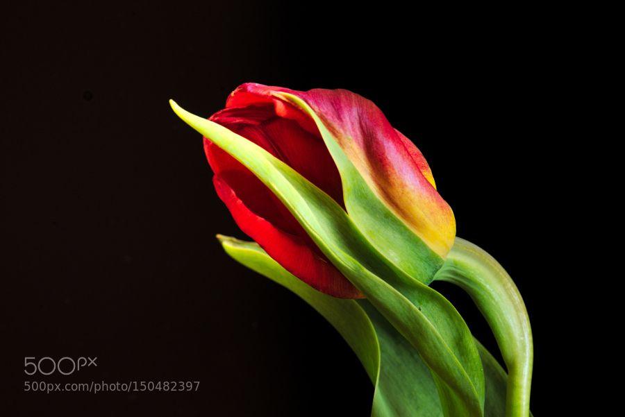 Tulpe by L8Xpress
