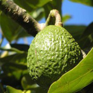 Avocatier Cultiver Et Faire Pousser Avec Un Noyau D Avocat