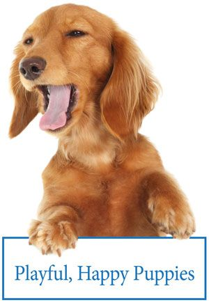 Long Haired English Cream Mini Dachshunds Brown Dachshund Happy Puppy English Cream Dachshund