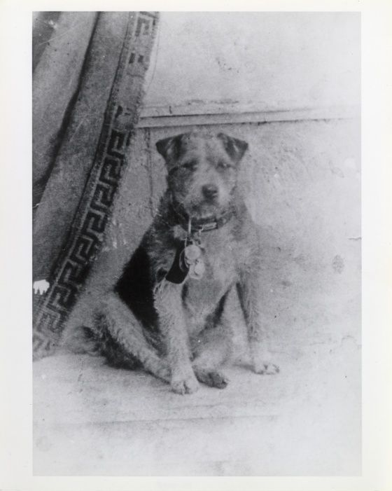 From the Smithsonian Institution comes this very old photo, along with a heartwarming story of a dog who rode the rails: Owney was a stray dog who wandered into the Albany, New York, post office in 1888. The clerks let him stay the night, and he fell asleep on a pile of empty mailbags. Owney was attracted to the texture or scent of the mailbags and began to follow them, first onto mail wagons and then onto mail trains. Owney began to ride with the bags on Railway Post Office (RPO) train cars…