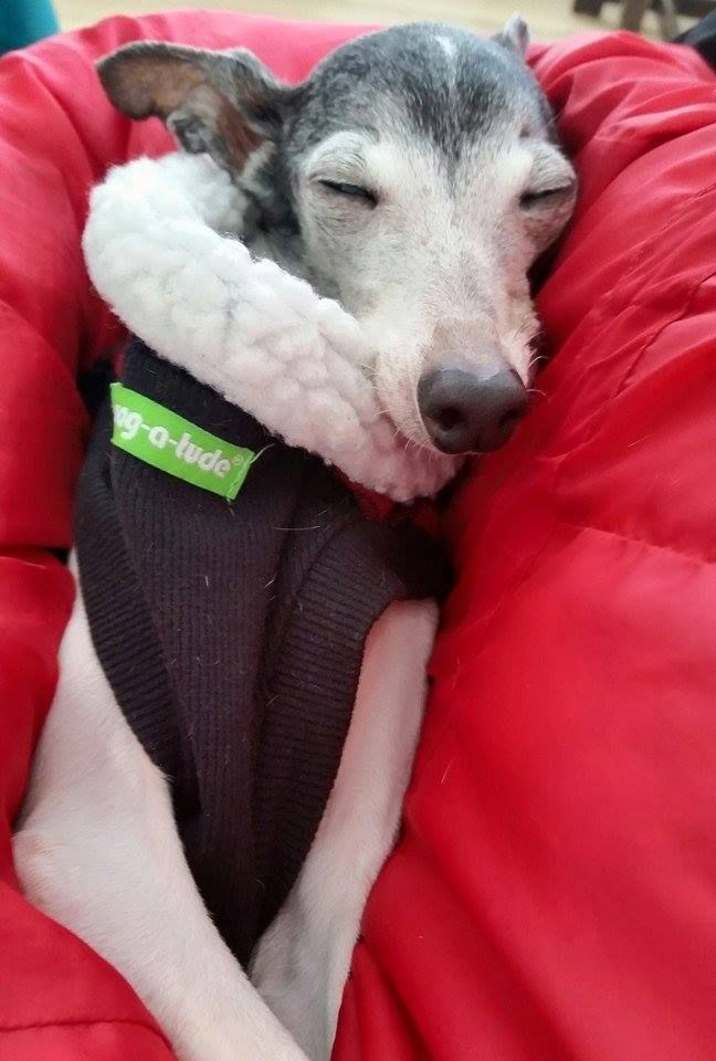 Sleepy Zappa, the_real_zappa #italiangreyhounddog # ...