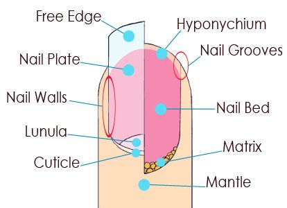 Fingernail Anatomy Nail Saving Tips