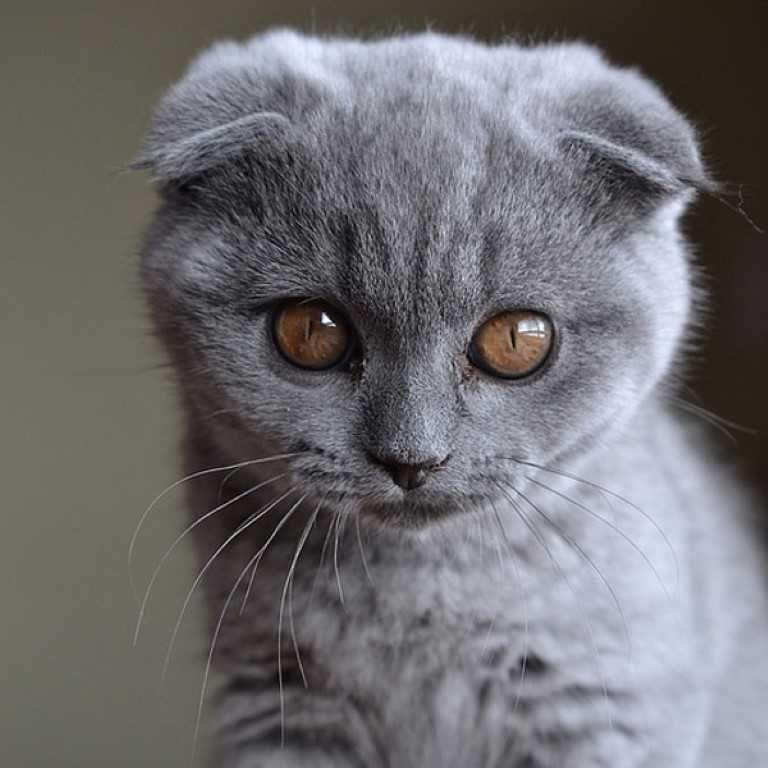 The Scottish Fold Cat Scottish Fold Kittens Cat Scottish Fold Fancy Cats
