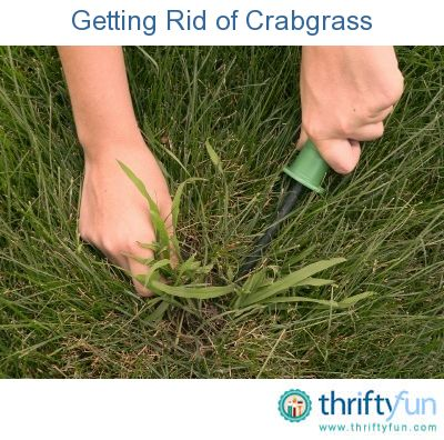 Getting Rid Of Crabgrass Weeds In Lawn Lawn Care Tips Common