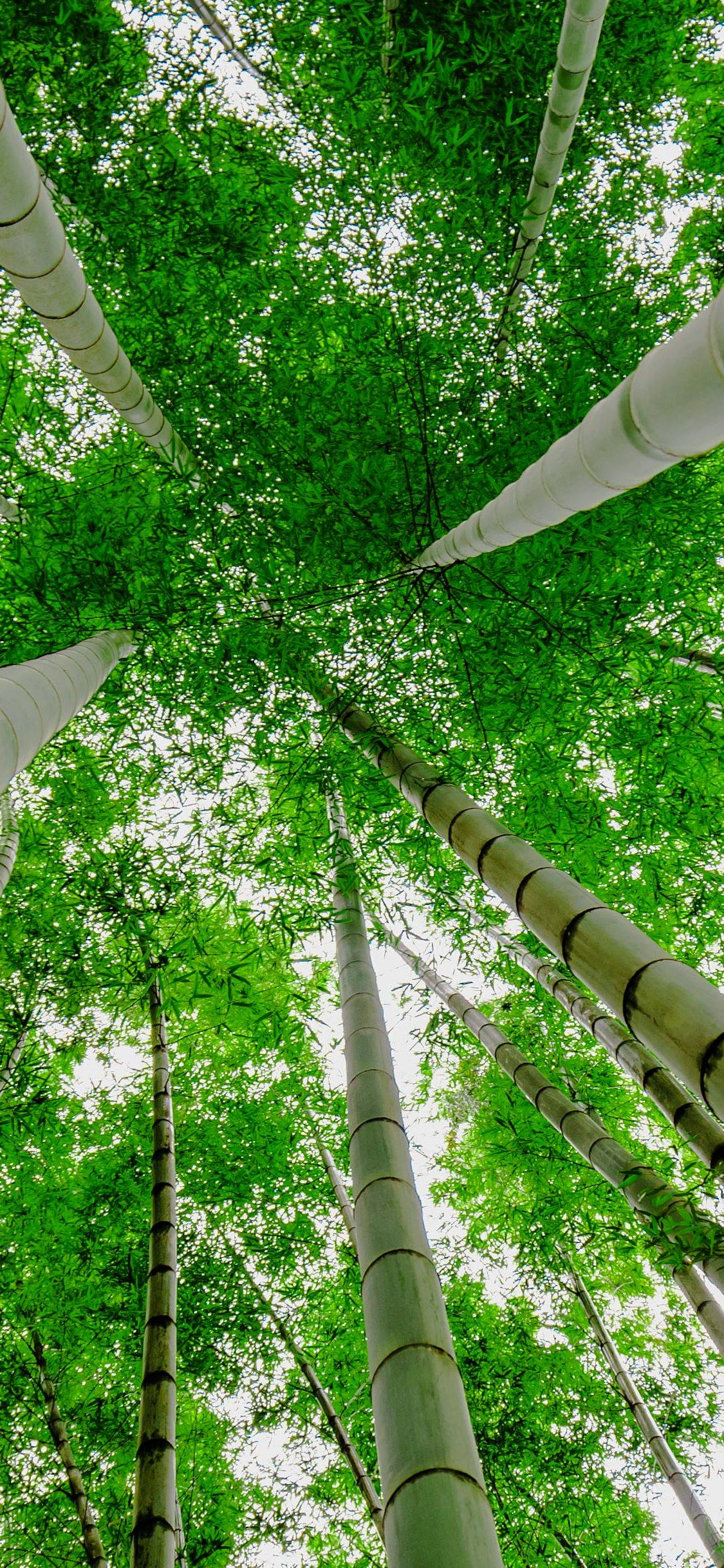 Looking Up Forest Green Green Bamboo Trees Wallpaper Iphone X