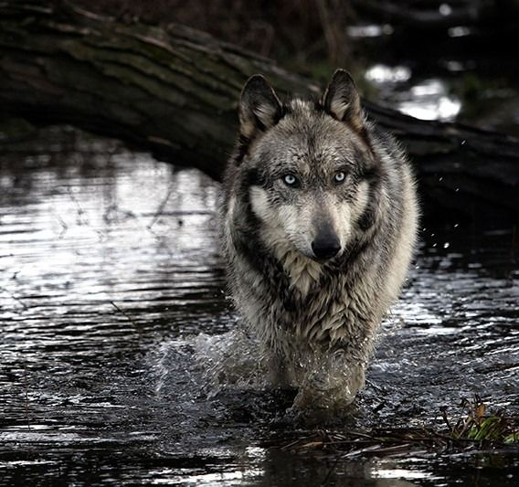 10++ River wolf info