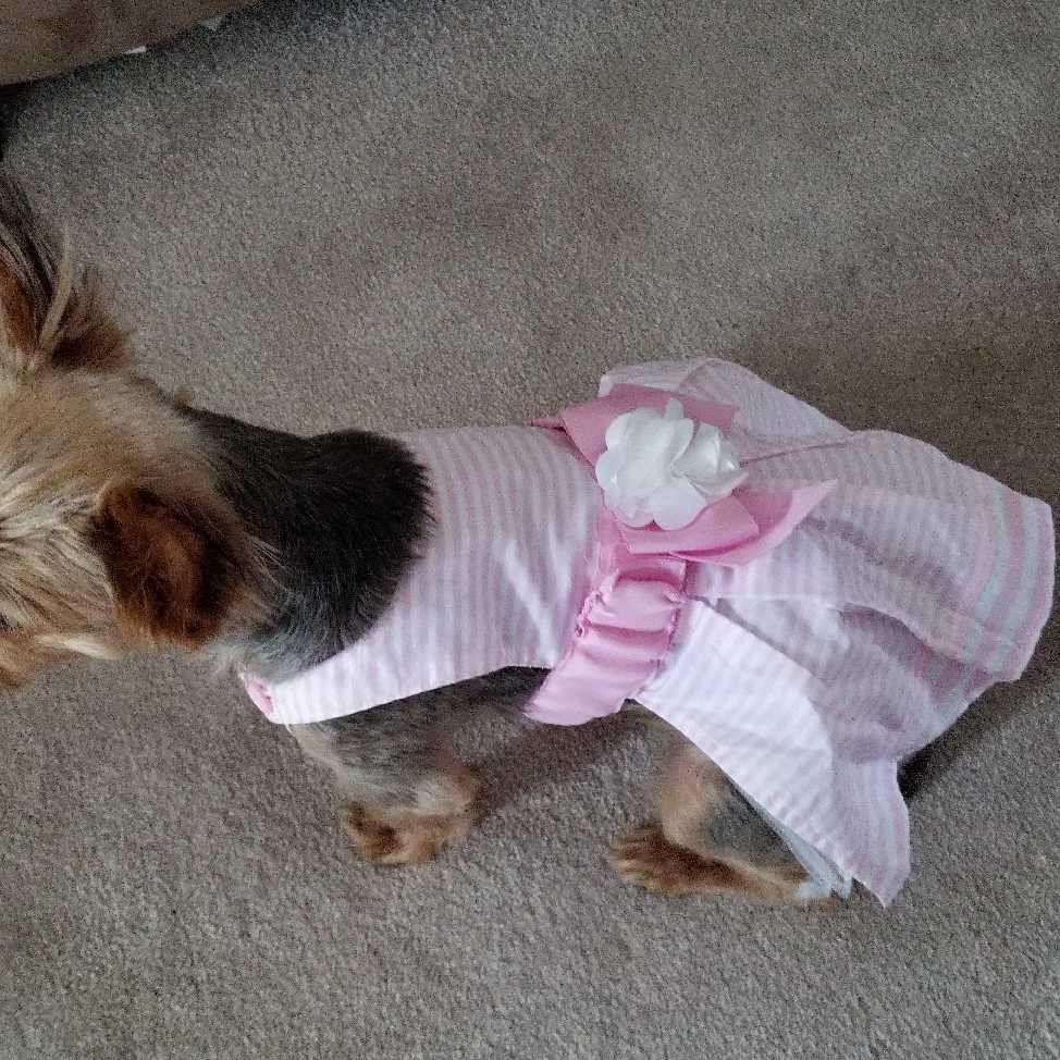 Jasmin Yorkie In Her Pretty Dress Yorkies Yorkielovers Yorkieshout Pet Dogs Pets Yorkshireterriers Yorkie Petco Petsmart Yorkie Lovers Yorkie Petco
