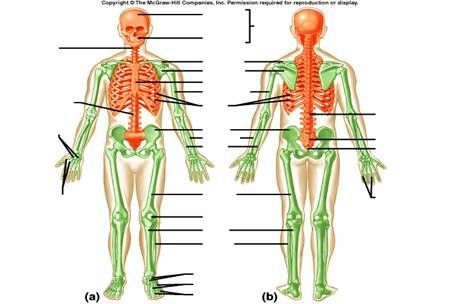 Axial Skeleton Worksheets Define The Term Suture And Designate The
