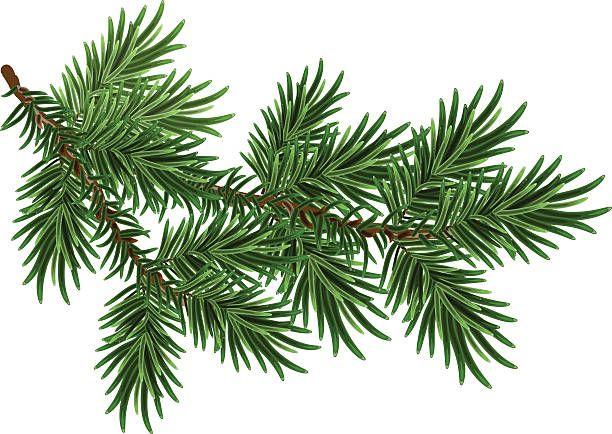 Fur Tree Branch Green Fluffy Pine Branch Vector Art Illustration Pine Tree Drawing Tree Drawing Simple Fur Tree