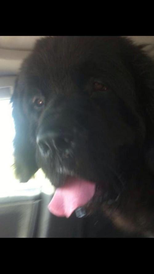 Http Www Petfinder Com Petdetail 29568322 Newfoundland Dog