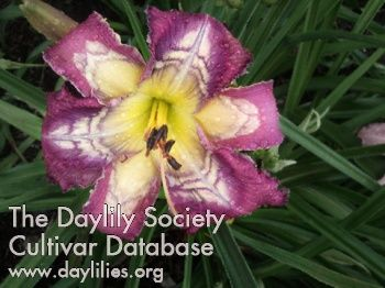 Daylily Ripples and Reflections