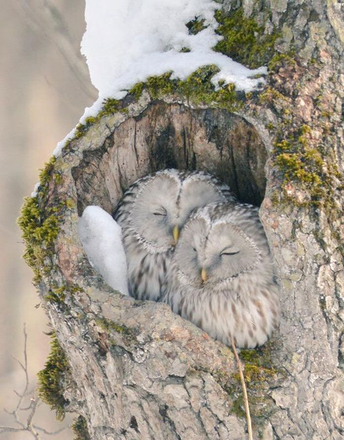The Ezo Fukuro is a local sub-species of the Ural Owl. Unfortunately, these guys probably love to feed on some of the other cute and tasty animals in this post!