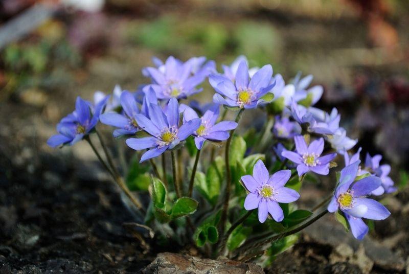 Wiosenna Pieknosc Przylaszczka Sadzonki 56 7520383381 Oficjalne Archiwum Allegro Plants Spring