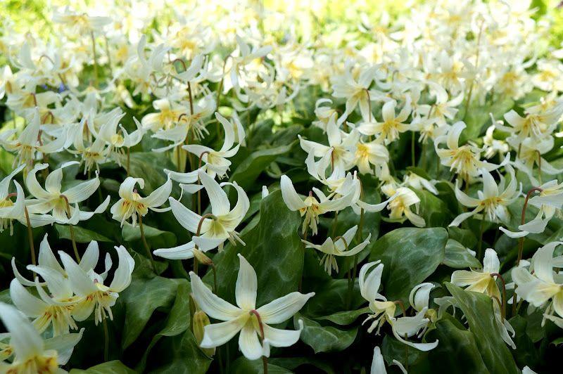 Weißer Garten Sissinghurst erythronium revulotum white in masses at sissinghurst uk