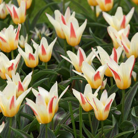 Tulip Johann Strauss Tulips Bulb Flowers Summer Bulbs