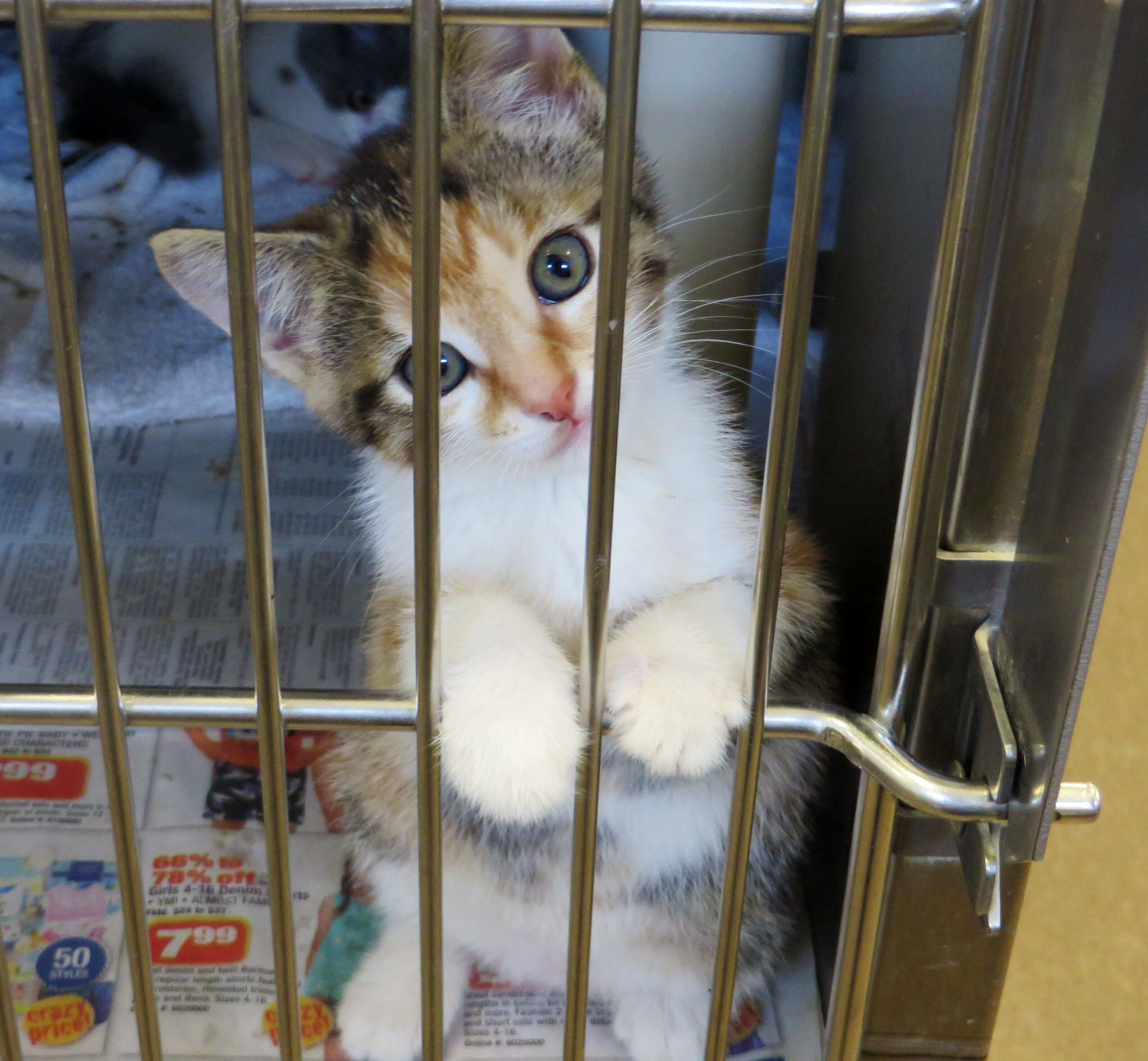 We Have Kittens Cat Adoption Cats And Kittens Kittens