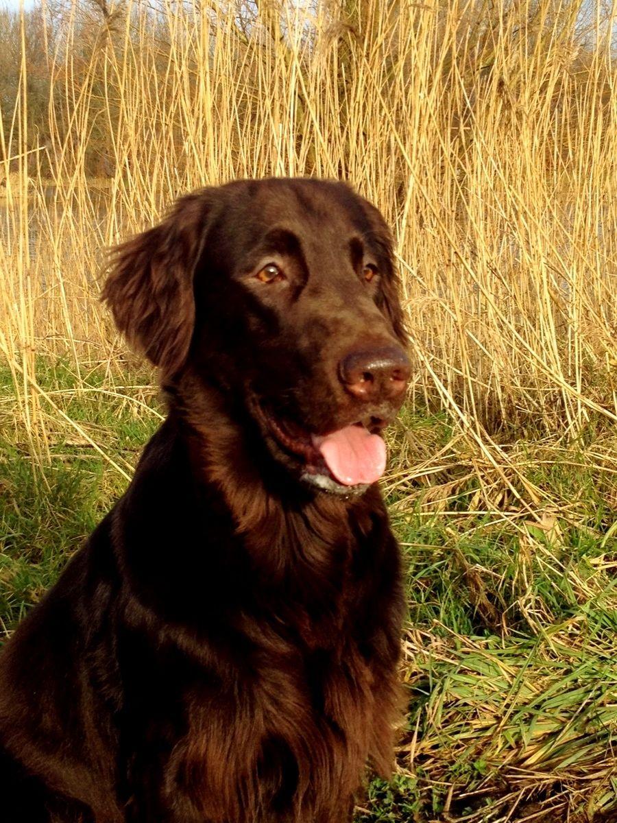 Liver colored Flat Coated Retriever Honden, Retriever