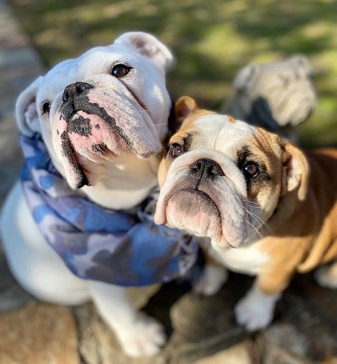 Pin By Zoran Franicevic On English Bulldogs In 2020 Bulldog Bulldog Puppies Bulldog Puppy Training