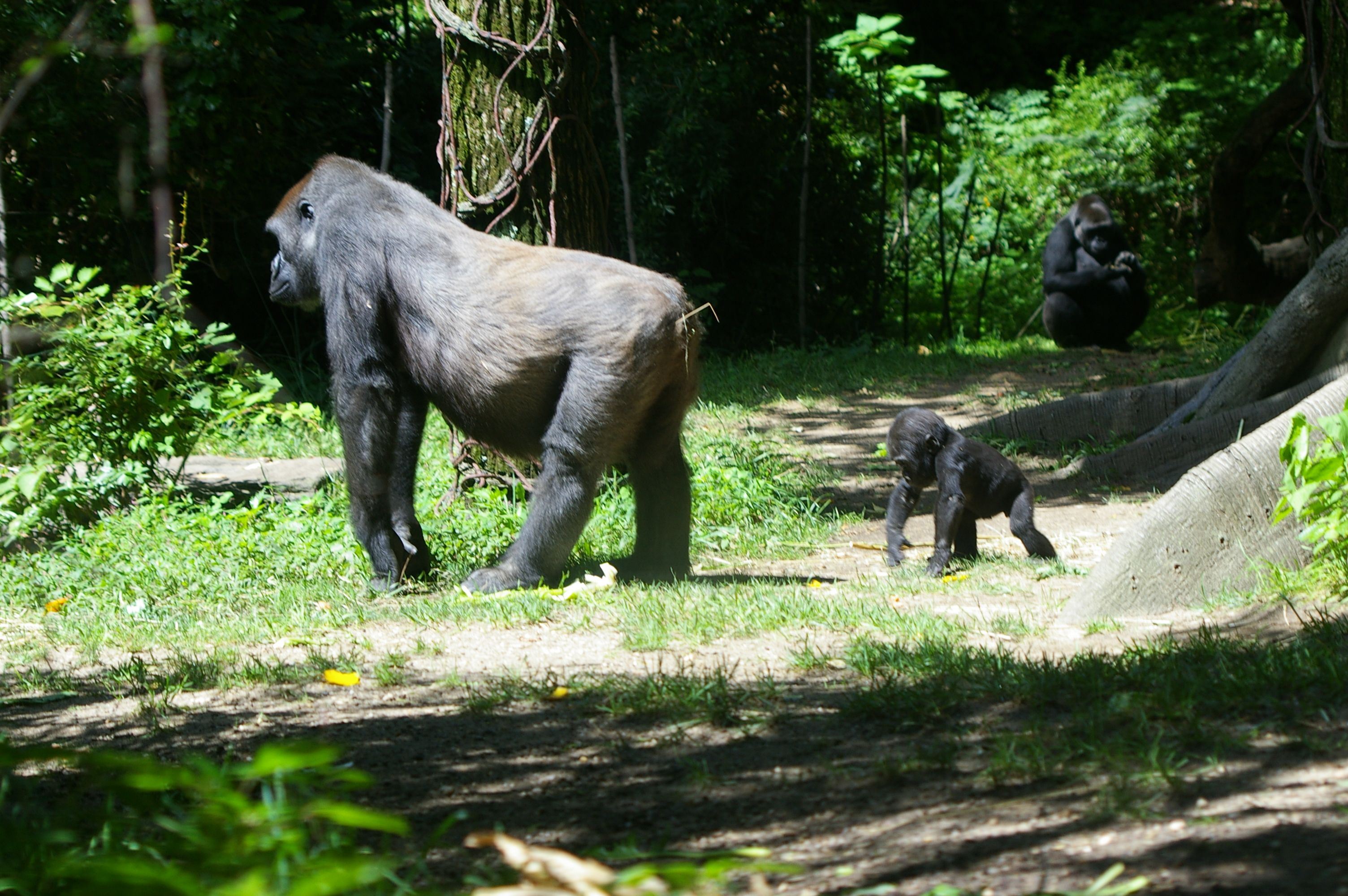 Baby Gorilla keeping up with Mommy!  In Bronx Zoo Congo Gorilla Forest
