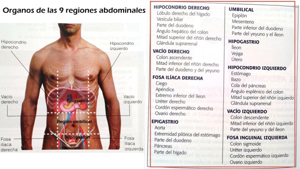 Magnífico Anatomía De Superficie De Los órganos Abdominales Imagen ...