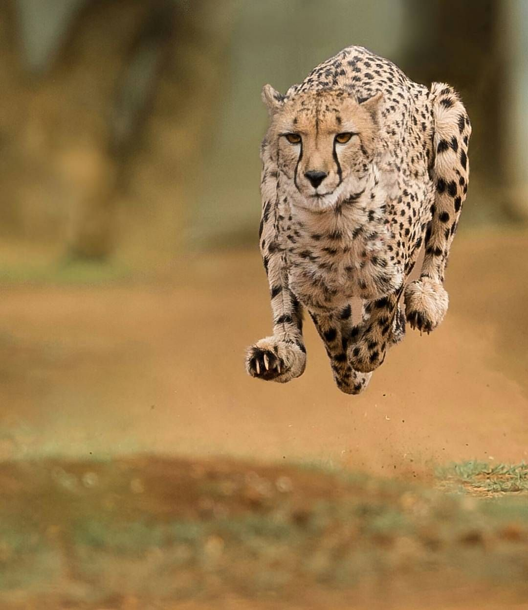 Photography By Jose Fragozo Flying Cheetah Speed Flying